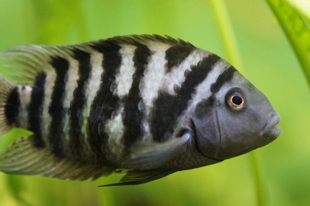 Zebra Buntbarsch