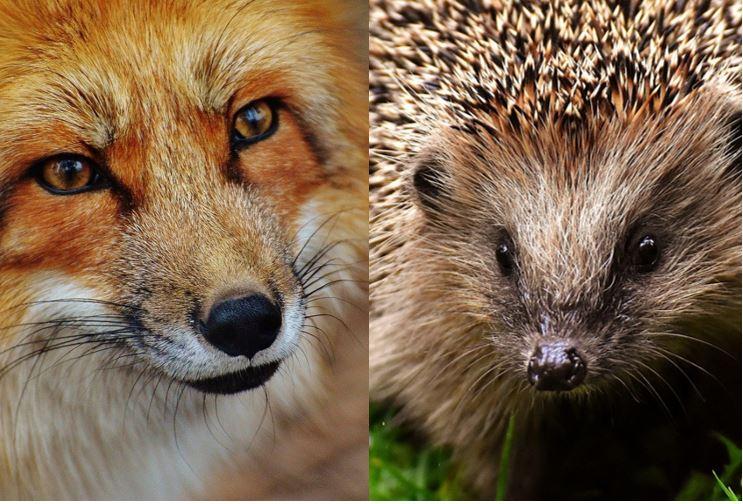 Porträt von Fuchs und Igel